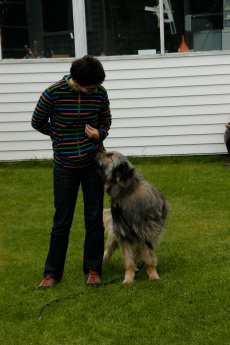 October: fostering and training Dougal the rescued Bearded Collie.
