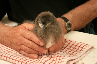 January: feeding fluttering shearwater chicks during a translocation project on Matiu/Somes Island, Wellington Harbour.